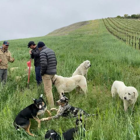 While checking in on our buried cow horns with @beer_wine_spirits, we accidentally set up what could be a #renaissance painting  #CoverCrop #WineryDogs #Biodynamique #AccidentalRenaissance #BeerWineSpirits