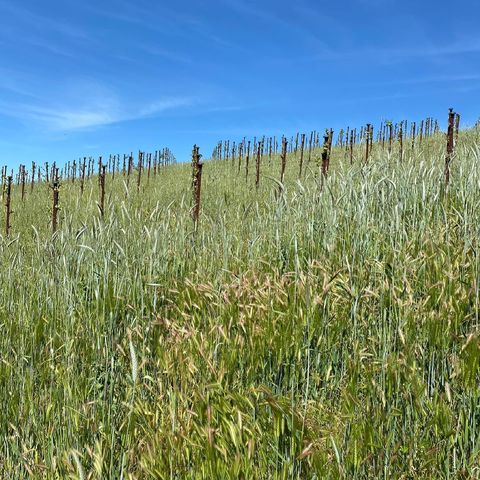 The plants are really diggin' all the sunshine lately. Our cover crop has reached the perfect height for hounds to hide in and the Syrah and Carignan leaves are finally catching up to the Grenache  #WarmWeather #Vines #Barley #Syrah #Grenache #Carignan #MAHAEstate