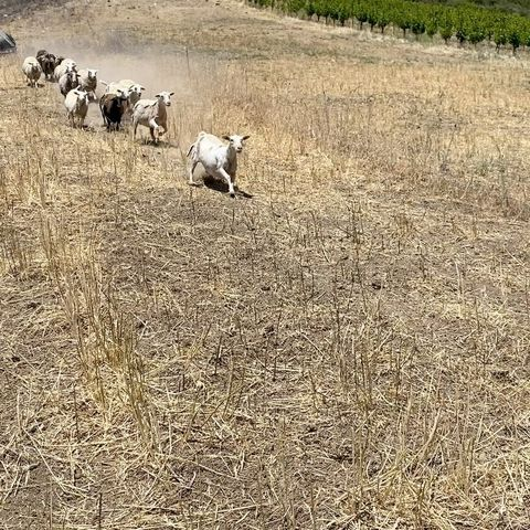 The sheep after hearing that we will be pouring some summer releases in the tasting room this weekend 🌻🐑🌻  Book your reservation today!  #SummerWine #TastingRoom #PasoWine #PasoRobles #VisitPaso #WineLover #RhoneWine