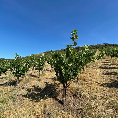 Alright you vin-thusiasts, who feels they can properly identify these two MAHA vines? All winners will get a big wet kiss from Obi 🐶  Hint: both are major players in our blends so think Southern Rhône. Bonus points if you can name the vine training method  #GuessTheVine #SouthernRhone #Biodynamic #RegenerativeAgriculture #PasoWine