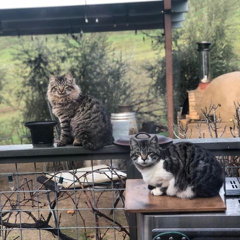 Show some love for our fearsome Ranch Cats 🐅: Todd, Tamale, Zuma, and Harvey  These furry menaces help keep our gopher and ground squirrel populations in check. Next time you're tasting keep your eyes peeled for them stalking through vines!  #WineCats #VineyardCats #PasoWine #PasoRobles #RegenerativeOrganic